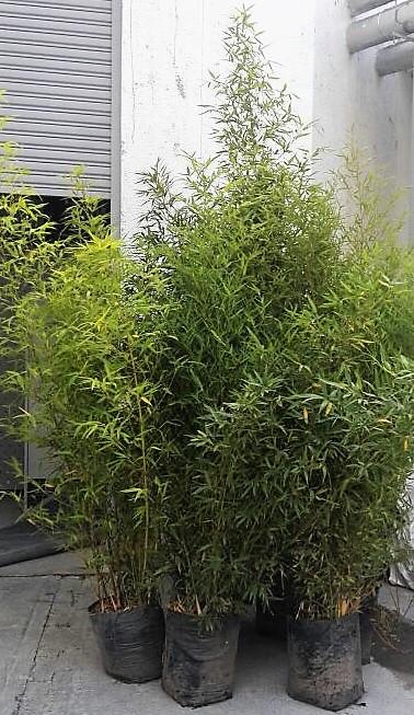 bambú mis bellas palmas (2)