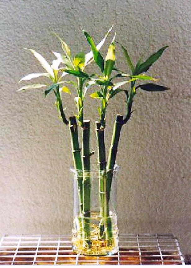bambu suerte (2)