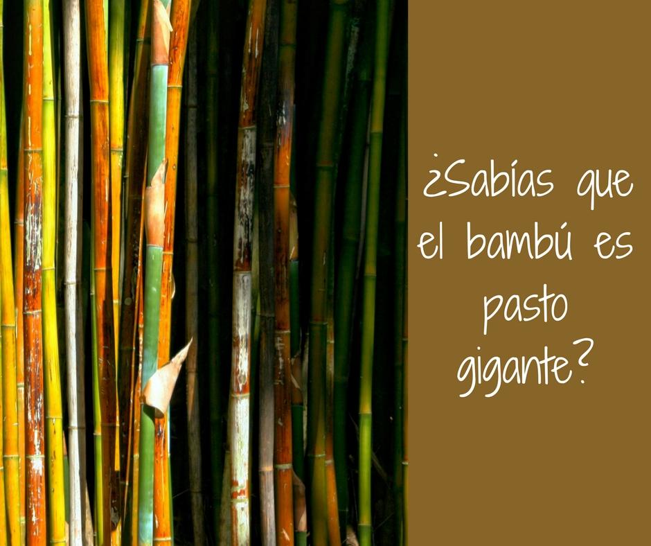 bambuss