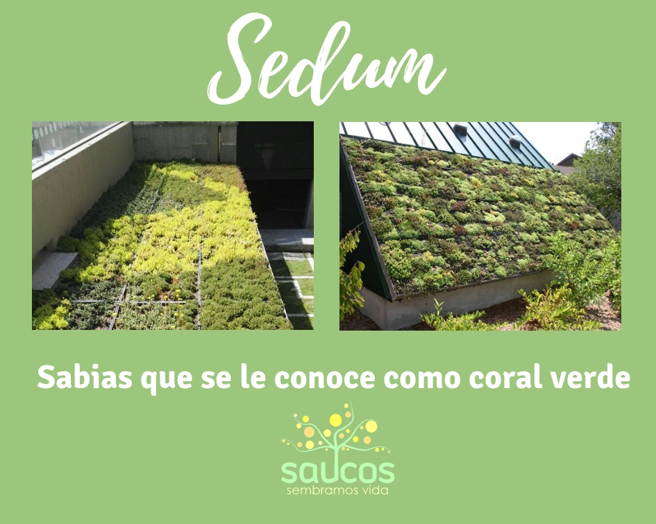 El Sedum